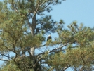 Eagles-2010 by hikingshoes in Birds