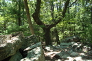 Unusual Looking Tree On Rocky Mountain, P A, 07/03/10 by Irish Eddy in Views in Maryland & Pennsylvania