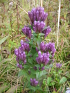 Purple Gentian by JJJ in Views in Virginia & West Virginia