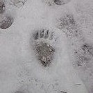 Black Bear Footprint in the Snow Monday, February 25, 2013