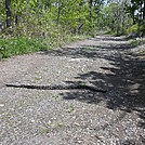 Timber Rattlesnake on Old AT Route Atop Blue Mountain Near Lehigh Gap in Pennsylvania by ga2me9603 in Trail & Blazes in Maryland & Pennsylvania