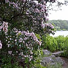 Mountain Laurel Along the AT at Sunfish Pond in New Jersey by ga2me9603 in Flowers