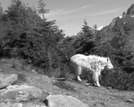 Mountain Goat by joeboxer in Other Trails