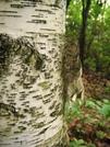 Birch Tree In Ct by ShoelessWanderer in Other