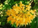 Fringed Yellow Orchid