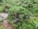 Mt.everett Old Growth,  4' High Pitch Pine. by Snowleopard in Views in Massachusetts