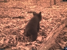Bear Cub by Ol Mole in Other