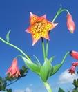 Grays Lilly On Roan Mountain by WhiteBearDog in Flowers