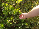 Sweet Blackberries On The Trail