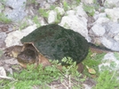 Snapping Turtle On The Bruce Trail by Wolfmaan in Other Trails