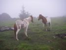 Ponies Near Rhododendron Gap