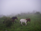 Ponies Near Rhododendron Gap by Big Dawg in Trail & Blazes in Virginia & West Virginia