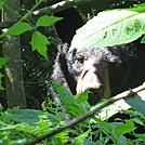 beagle gap to ivy creek overlook 203 by Deer Hunter in Bears