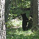 Big Run and Patterson Ridge trails' loop hike in Shenandoah National Park by Deer Hunter in Bears