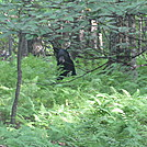 Bear near Skyland in Shennendoah National Park by Deer Hunter in Bears