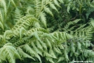 ferns on climb up from Carver Gap
