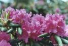 Roan Mtn. rhododendron garden by sienel in Flowers