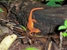 Eastern Newt by pht_squirrel in Other