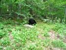 Black Bear In Shenandoah National Park by raab72 in Members gallery