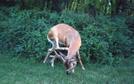 Deer In Snp by Scaper in Views in Virginia & West Virginia