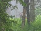 Deer At Mt Leconte by Reverie in Deer