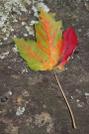 Autumn Leaf by Reverie in Trail & Blazes in Georgia