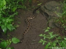 Timber Rattler by Goon in Snakes