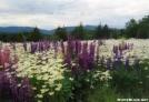 Wildflowers - Crawford Notch, NH