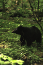 Bear In The Smokies by Pit Stop in Bears