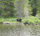 Moose by Oklahoma in Moose