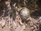 0038 2009.07.13 Turtle On Trail