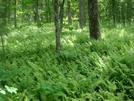 0121 2010.06.11 Fern Ground Cover