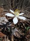 0238 2011.04.03 Flower North Of Stecoah Gap by Attila in Flowers
