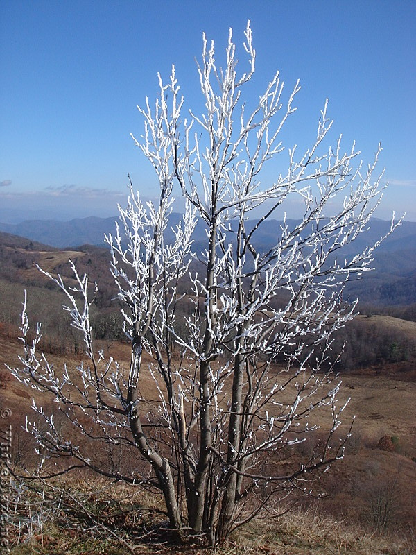 0479 2012.11.24 Frosty Tree On Max Patch