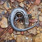 0591 2013.12.29 Plestiodon Fasciatus Juvenile