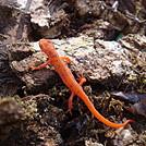 0634 2014.04.26 Salamander