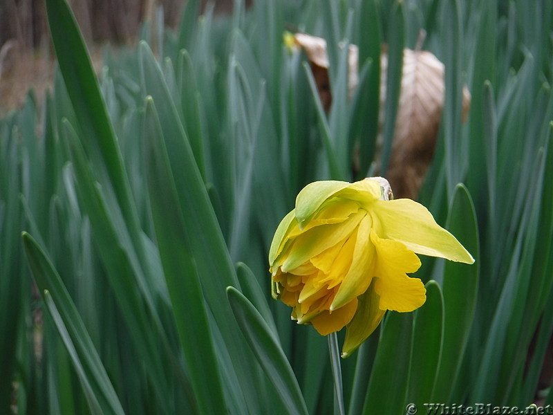 0819 2017.02.28 Daffodil Patch Southside Of Holston River
