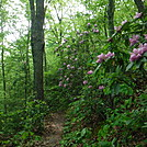 0849 2017.05.20 Mountain Laurel North Of  Knot Maul Branch Shelter by Attila in Trail & Blazes in Virginia & West Virginia