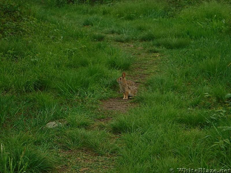 0854 2017.05.20 Bunny On AT Chestnut Knob Shelter