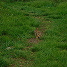 0854 2017.05.20 Bunny On AT Chestnut Knob Shelter by Attila in Other