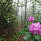0858 2017.05.21 Mountain Laurel On AT North Of Walker Gap
