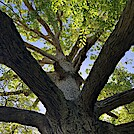 0950 2020.06.02 Keffer Oak by Attila in Special Points of Interest