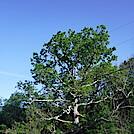 0952 2020.06.02 Keffer Oak by Attila in Special Points of Interest