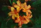 Flame Azalea by rainmakerat92 in Flowers