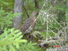 Spruce Grouse, Maine by Tinker in Birds