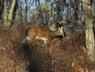 Deer In Woods Near High Point, Nj