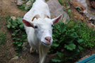 Goats At Mountain Harbour, Tn