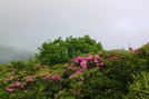 Rhododendron Near Jane Bald by bus in Views in North Carolina & Tennessee