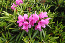 Rhododendron by bus in Views in North Carolina & Tennessee