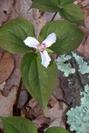 Trillium by bigcranky in Flowers